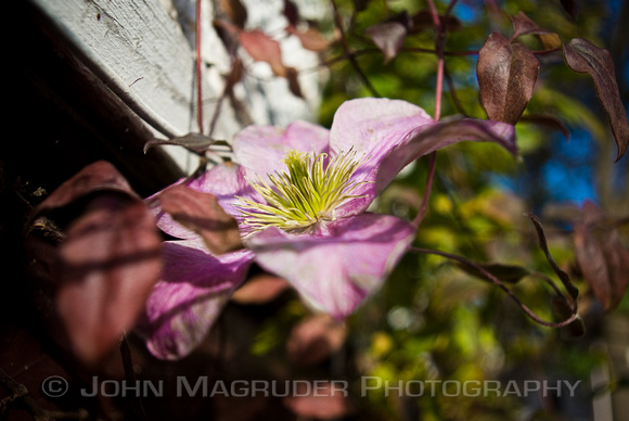The Last Clematis